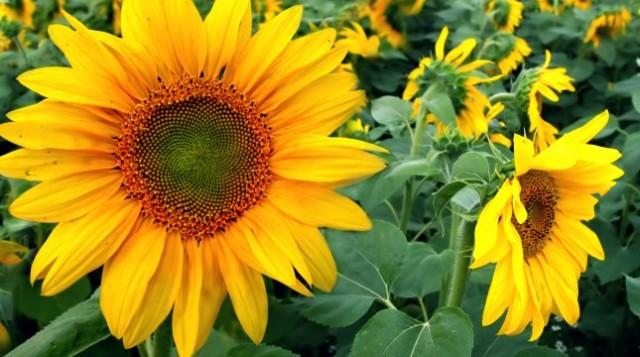 Olej słonecznikowy – zastosowanie i właściwości